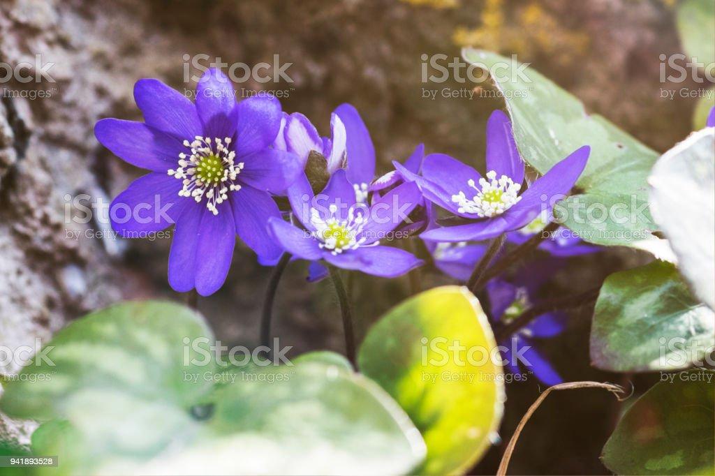 erba trinità nel bosco - anemone hepatica macro - foto di stock immagine - foto stock