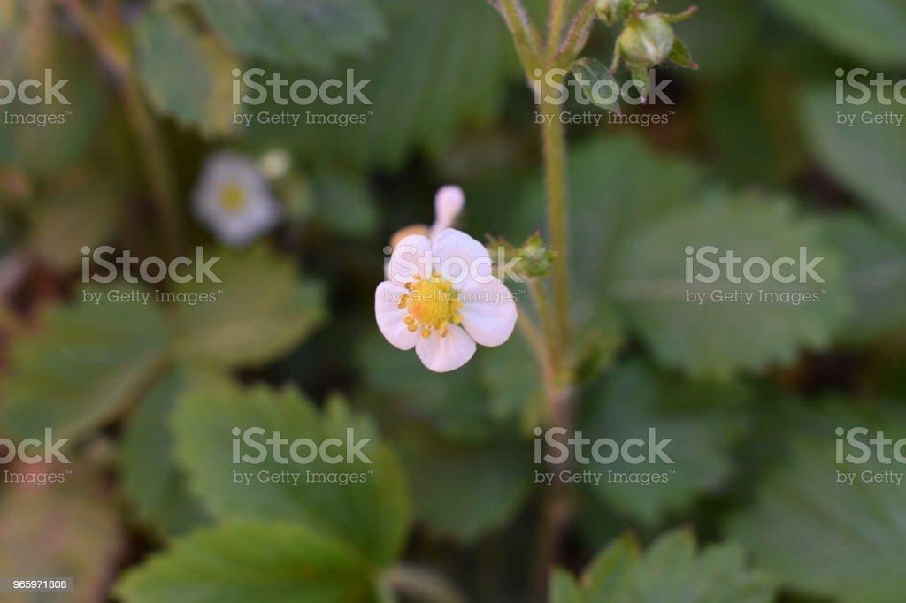 Erdbeerblüte - Royalty-free Aardbei Stockfoto