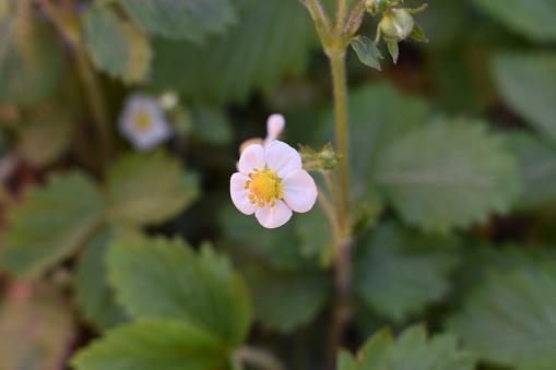 Erdbeerblüte Stockfoto en meer beelden van Aardbei