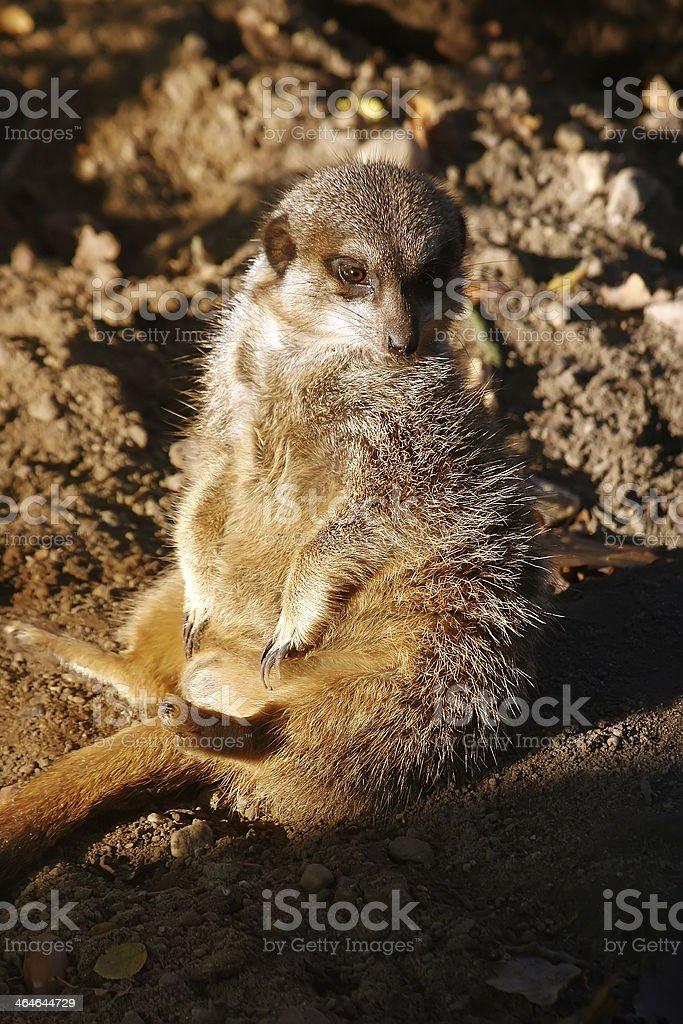 Erdmännchen - stock photo