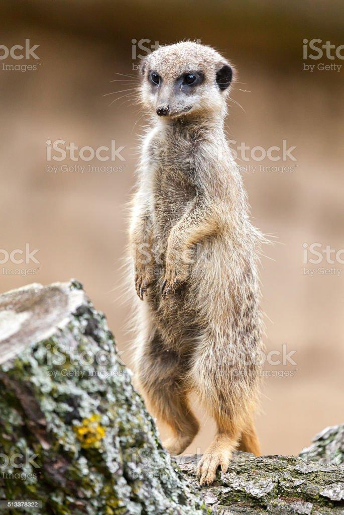 Erdmännchen steht und schaut stock photo