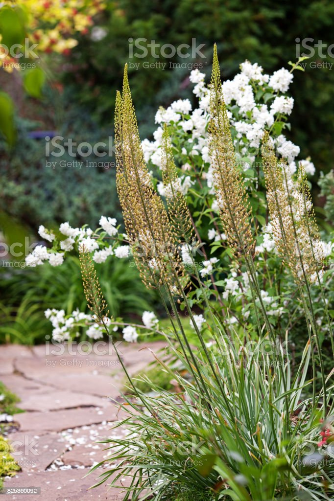 Eremurus, foxtail Lilly, dessert candles in the garden before blooming stock photo