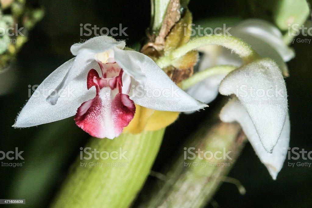 Eria carinata from rainforest royalty-free stock photo