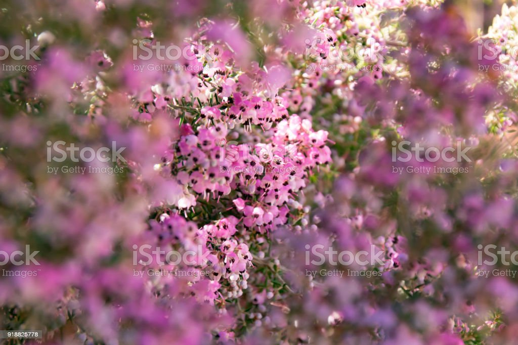 Erica Canaliculata That Makes Small Flowers Bloom Stock Photo