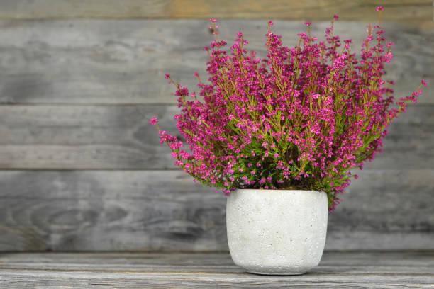 Erica gracilis Pflanze auf Holzhintergrund – Foto