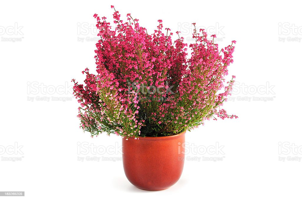 erica heather in flower pot - Royalty-free Binnenopname Stockfoto