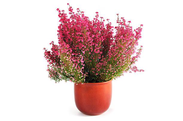 erica heather in flower pot - bloempot stockfoto's en -beelden