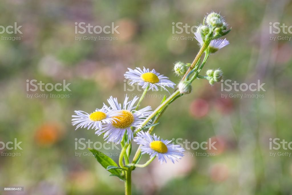 Erigeron flower in the sunlight stock photo