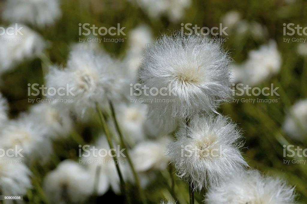 eriophorum latifolium stock photo