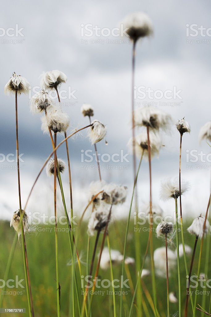 Eriophorum vaginatum, Scheiden-Wollgras royalty-free stock photo