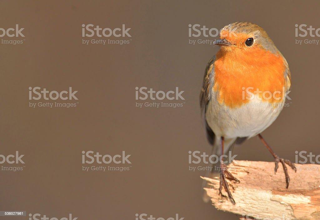 Erithacus rubecula, European Robin stock photo