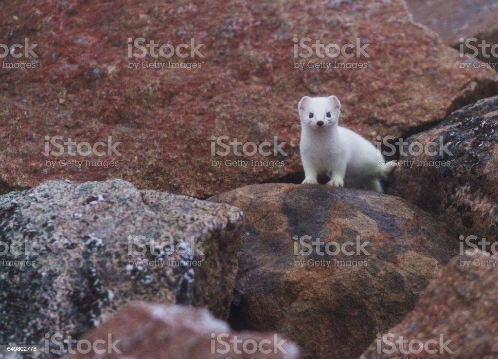 Ermine in white fur among rocks stock photo