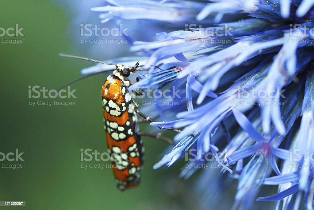 Ermine Moth On A Blue Thistle Flower royalty-free stock photo