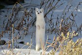 an short tailed Weasel comes out of his hiding place to check me out near Yellowstone National Park, Montana