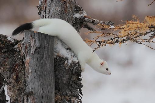 istock Ermine, winter, animal 503299188