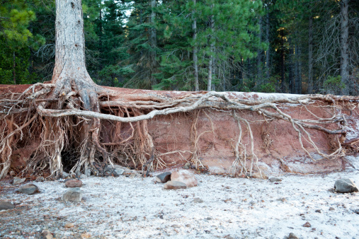 Eroded lake shore showing exposed tree roots.