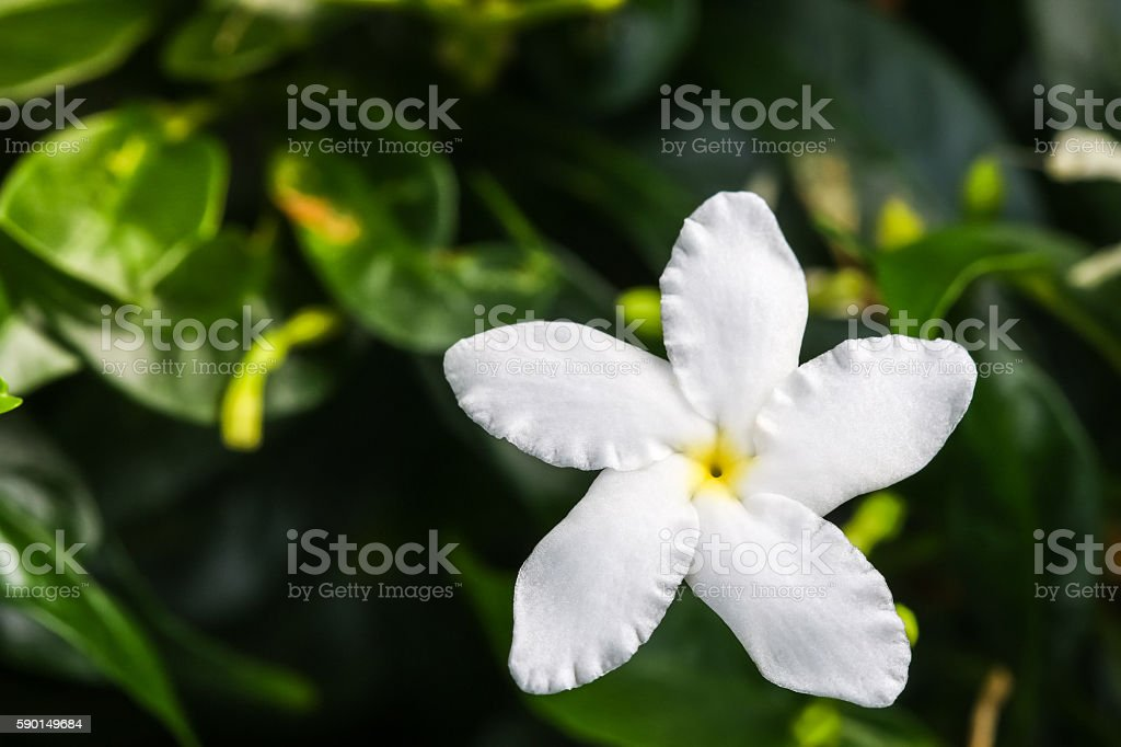 Ervatamia or Gardenia white flowers is blossom in the garden stock photo