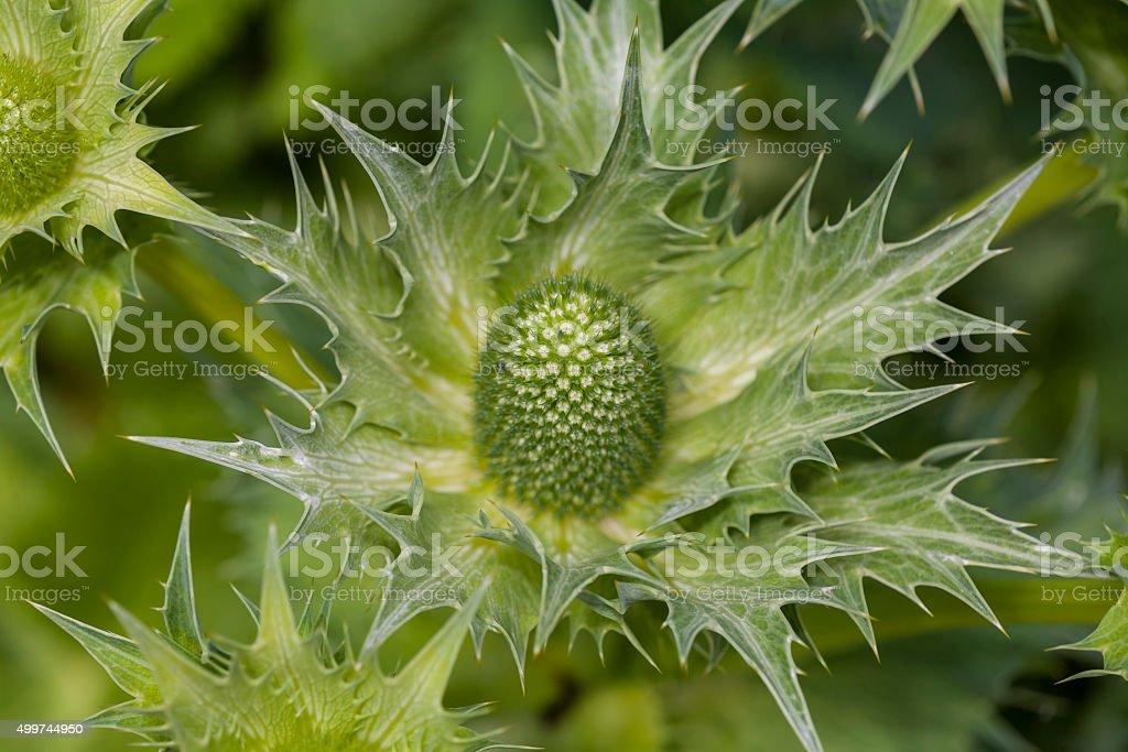 Eryngium alpinum (famiglia: Apiaceae, noto anche come Umbelliferae. Alpi occidentali - foto stock