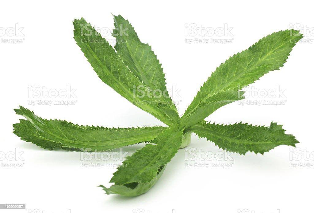Eryngium foetidum or long coriander leaves stock photo