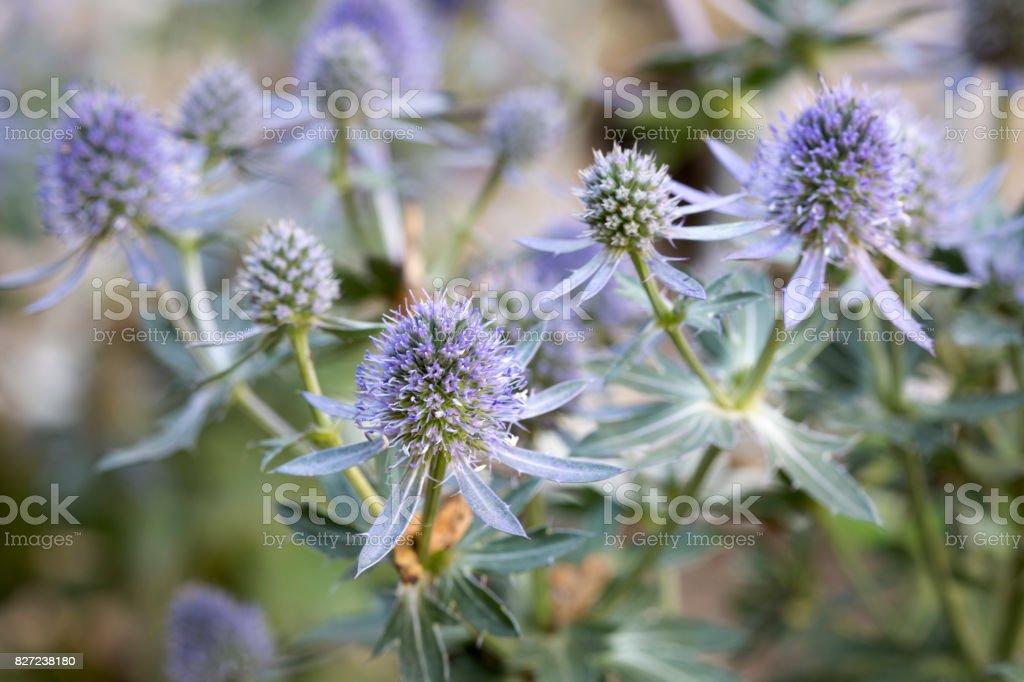 Eryngium planum flowers in the garden stock photo