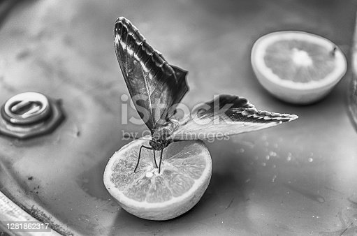 Eryphanis automedon, aka Automedon giant owl is a tropical butterfly. Here shown while eating from an orange
