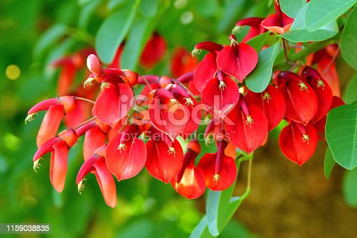 Erythrina crista-galli, commonly called Coral tree or Cockspur coral tree, is a deciduous shrub growing to 3-5 meter high and in flower from July to September. The flowers are hermaphrodite (have both male and female organs), rich in nectar and pollinated by insects.