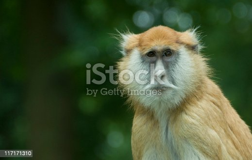 Single Patas Monkey with diffused green background