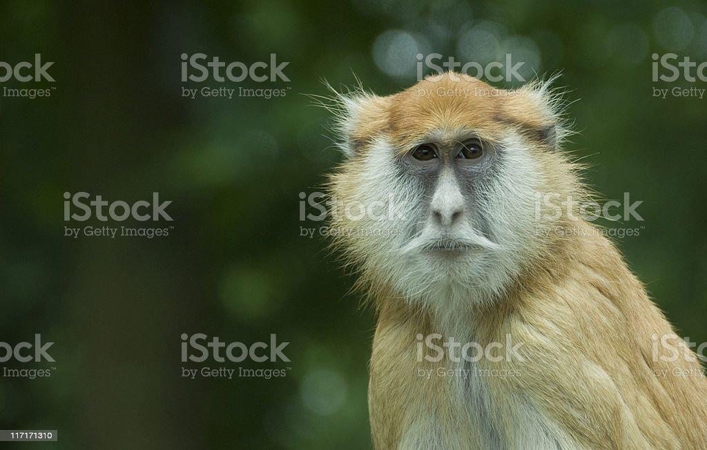 Erythrocebus Patas Monkey stock photo