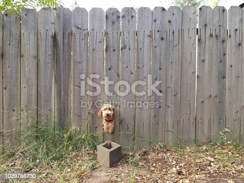 A friendly dog uses a hole in the fence to greet passersby.