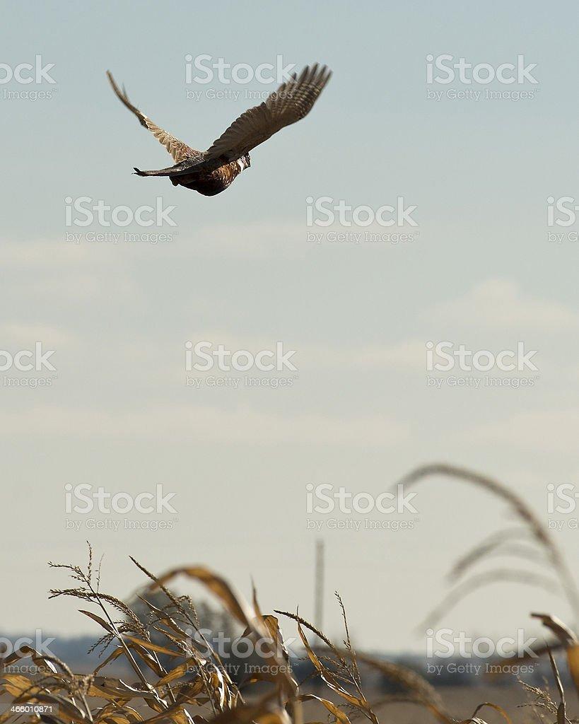 Escaping Pheasant stock photo