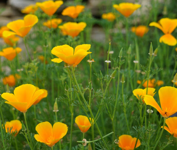 Eschscholtzia Californica commonly known as the California or Golden Poppy stock photo