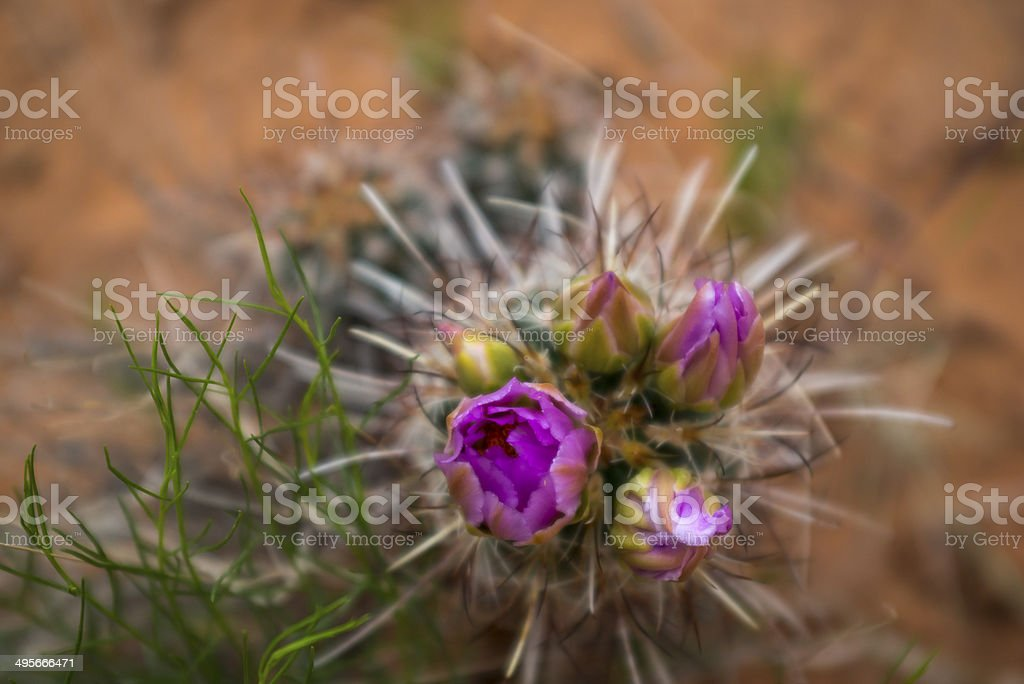 Escobaria, pincushion cactus or foxtail cactus stock photo