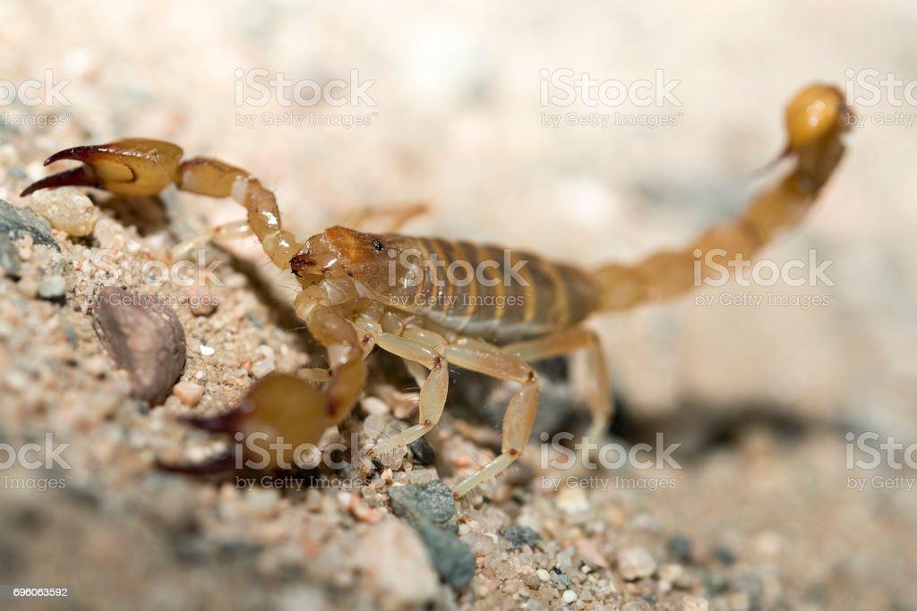 escorpión de las cierras stock photo