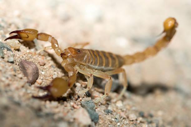 escorpión de las cierras - skorpion stock-fotos und bilder