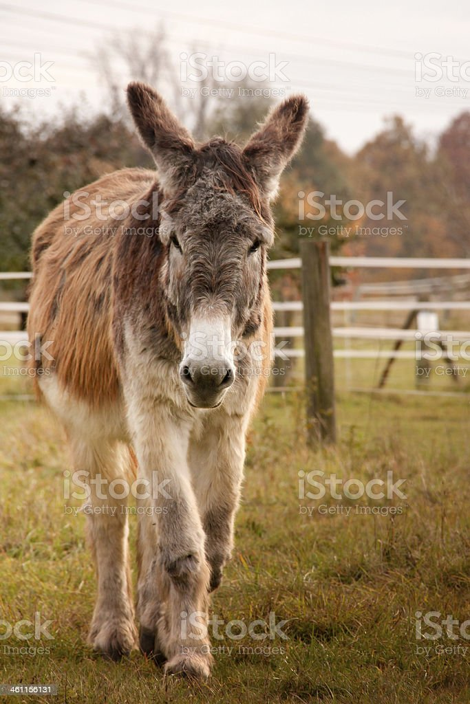 Esel royalty-free stock photo