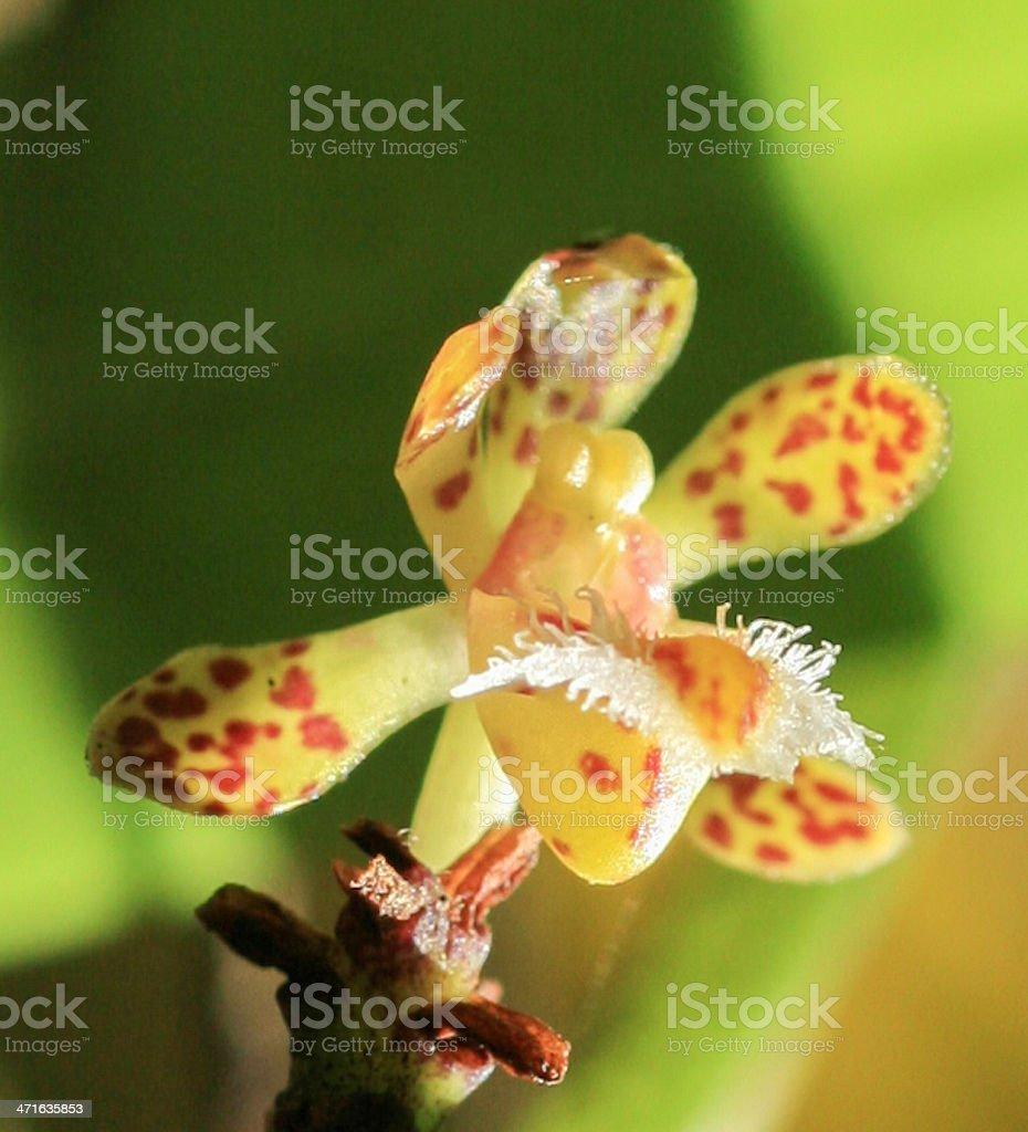 Esmeralda clarkei from rainforest royalty-free stock photo