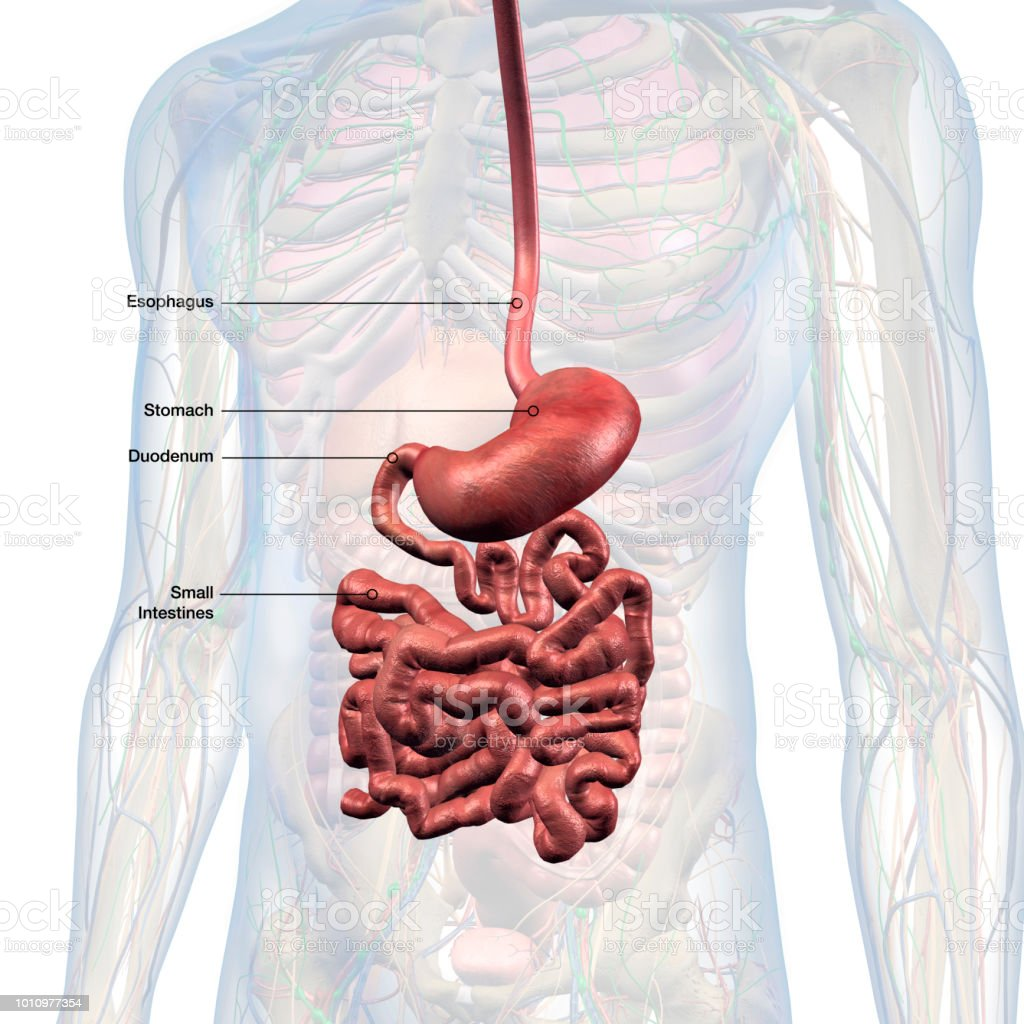 Esophagus Stomach Small Intestines Labeled In Male Internal Anatomy