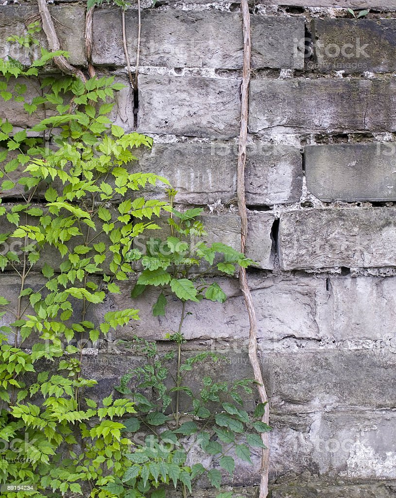 espalier and vines on the wall royalty-free stock photo