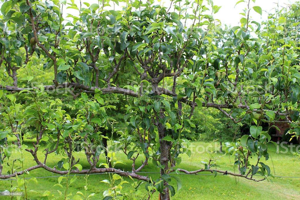 espalier arbres apple dans le verger imageornamental cuisine jardin potager photos et plus d. Black Bedroom Furniture Sets. Home Design Ideas