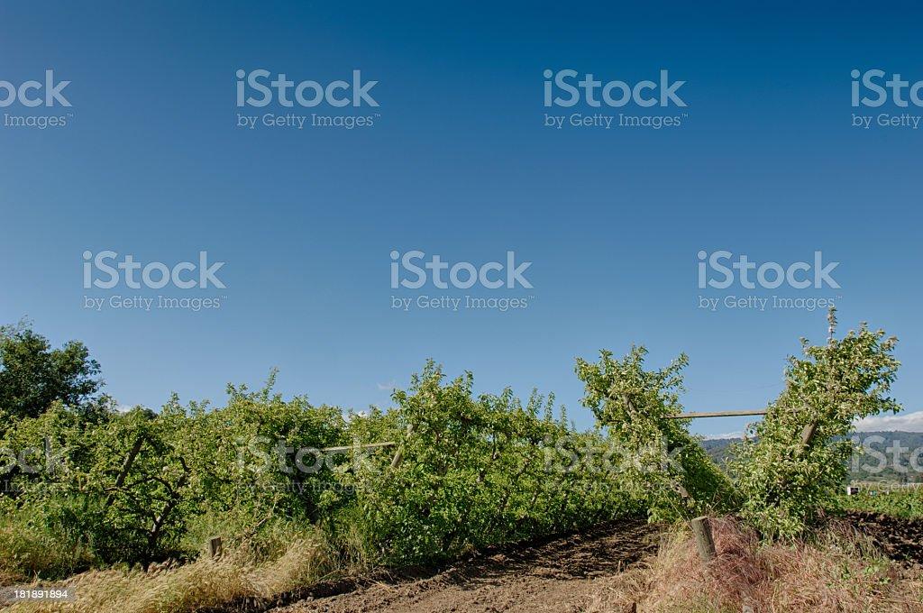 Espalier Organic Apple Orchard royalty-free stock photo