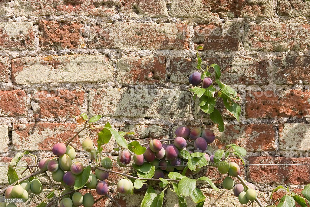 Espalier Plum Tree royalty-free stock photo
