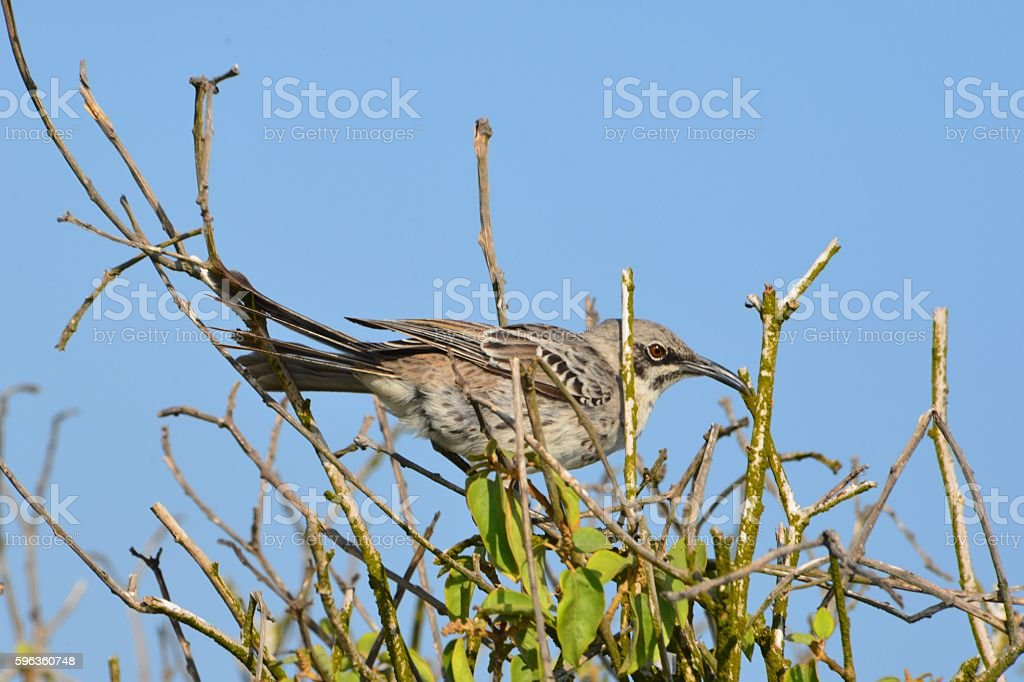 Espanola Mockingbird in Bush royalty-free stock photo