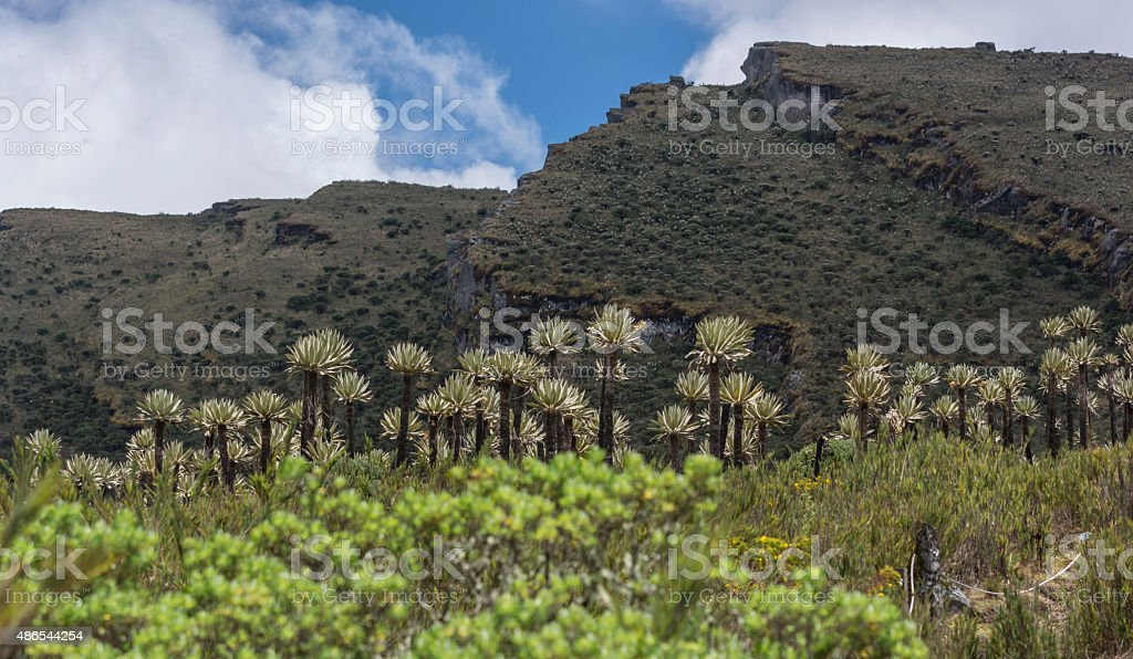 espeletia frailejón in Siecha Colombia with faults in the background stock photo