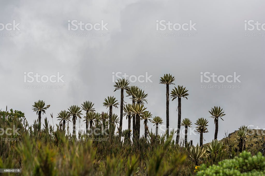 espeletia frailejón in Siecha in Colombia stock photo