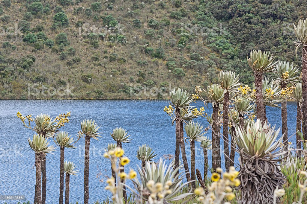 espeletia frailejón Siecha in Colombia stock photo