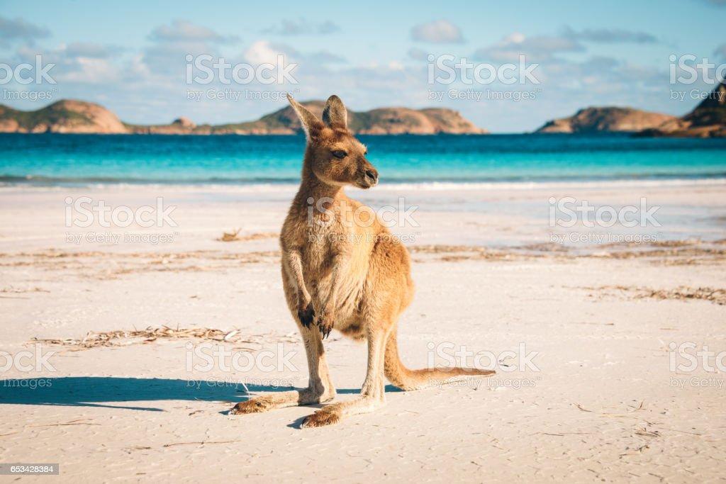 Esperance Kangaroo beach royalty-free stock photo