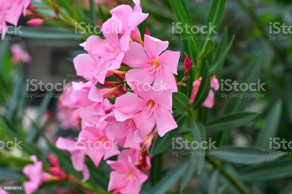 Espirradeira rosa no jardim stock photo