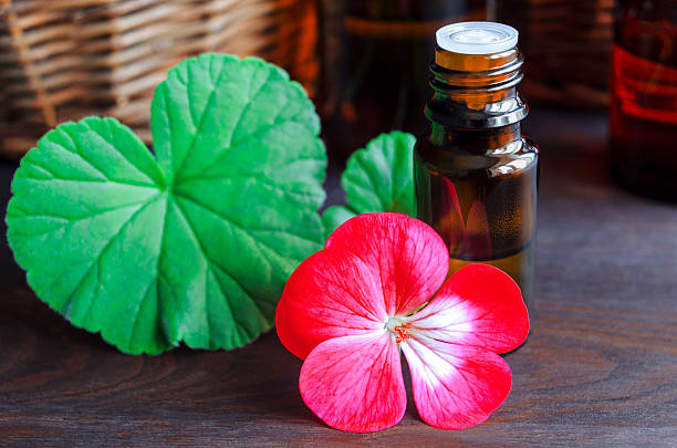 Essential geranium oil stock photo