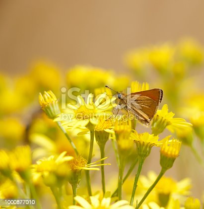 The Essex skipper (Thymelicus lineola) is a butterfly in family Hesperiidae. In North America, it is known as the European skipper.  With a wingspan of 2.5 to 2.9 cm, it is very similar in appearance to the small skipper Thymelicus sylvestris. They can be told apart by the undersides of the tips of their antennae: the Essex skipper's antennae are black, whereas those of the small skipper are orange. This butterfly occurs throughout much of the Palaearctic region. Its range is from southern Scandinavia through Europe to North Africa and east to Central Asia It was only identified in the UK in 1889, and its range is expanding both in England and in northern Europe. In North America, this butterfly was accidentally introduced in 1910 via London, Ontario and has spread across southern Canada and into several northern US states. Life cycle: Eggs are laid in strings on the stems of grasses where they remain over the winter. The Essex skipper's favoured foodplant is cock's-foot (Dactylis glomerata), and it rarely uses the small skipper's favoured foodplant Yorkshire fog. Essex skippers' other foods include creeping soft grass (Holcus mollis), couch grass (Elymus repens), timothy-grass (Phleum pratense), meadow foxtail (Alopecurus pratensis), false brome (Brachypodium sylvaticum) and tor-grass (Brachypodium pinnatum). This skipper's caterpillars emerge in the spring and feed until June before forming shelters from leaves tied with silk at the base of the foodplant to pupate. Adults fly from July through August. Like most skippers, they are fairly strictly diurnal, though individuals are very rarely encountered during the night (source Wikipedia).