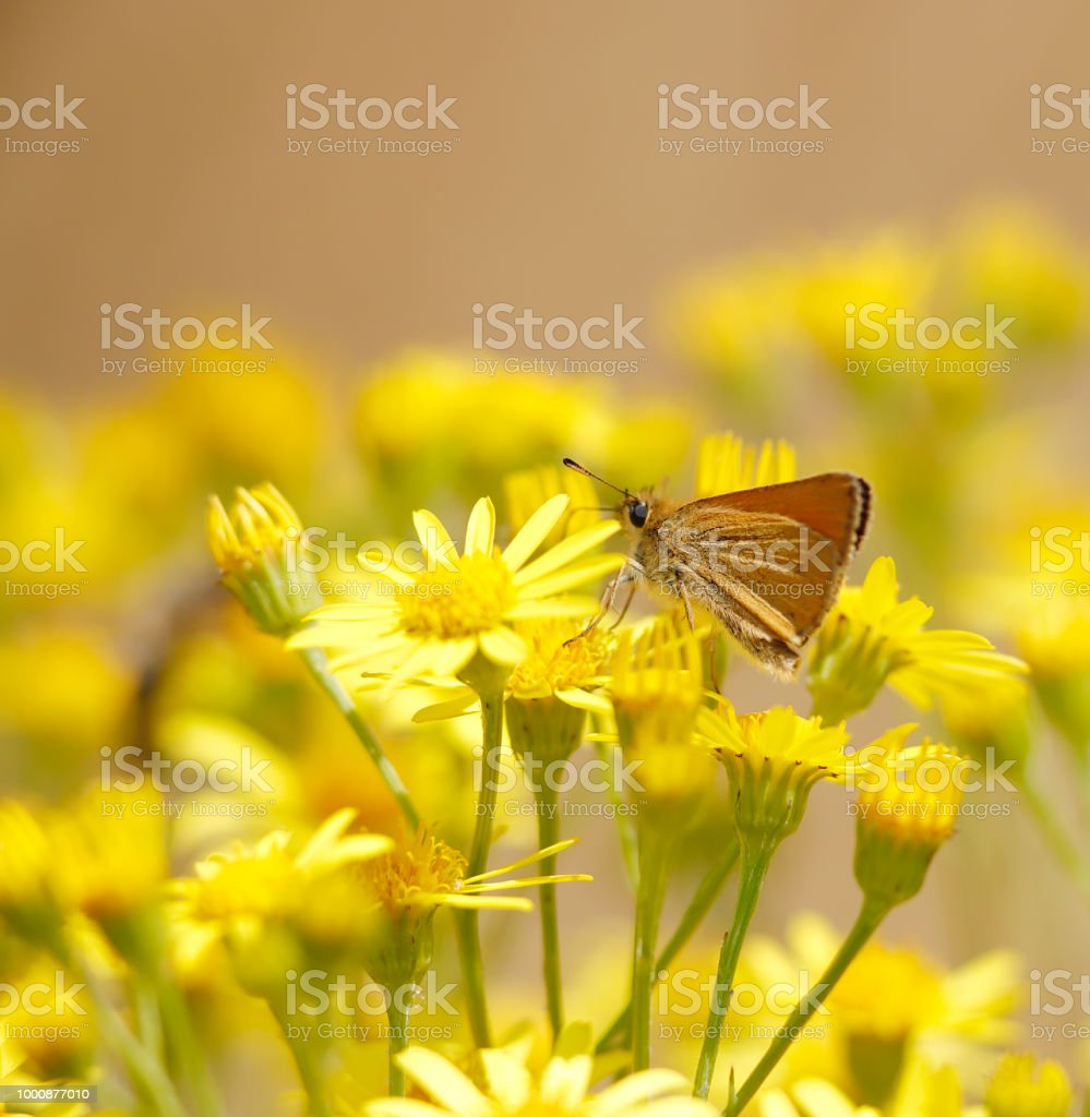 Essex schipper Butterfly (Thymelicus lineola) foto